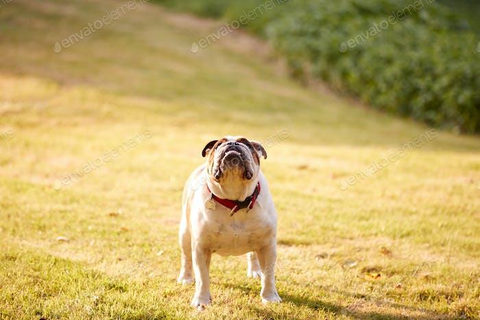 Haustier Bulldogge Spielen auf Gras Rasen In Abendlicht