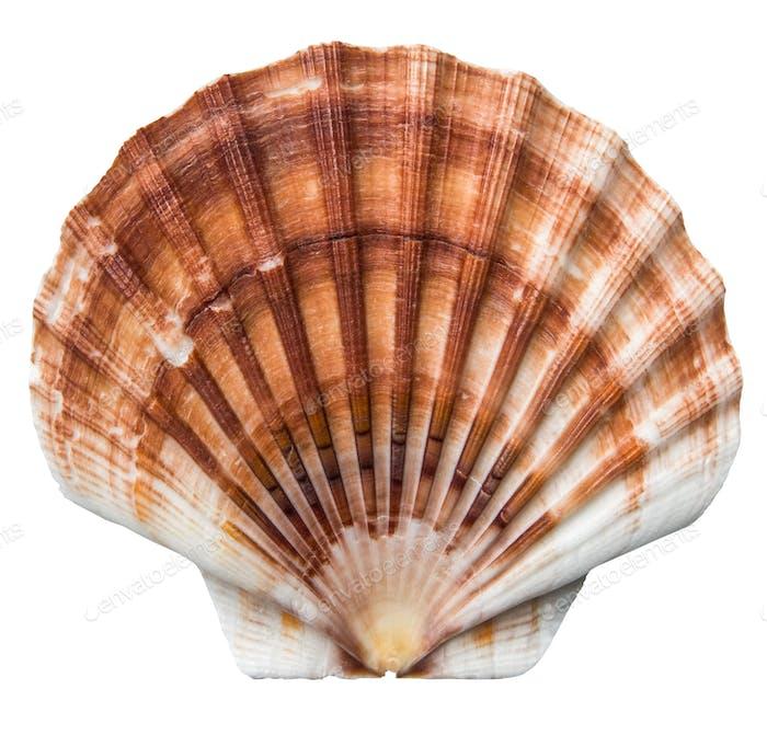 Isolierte braune Jakobsmuscheln Shell