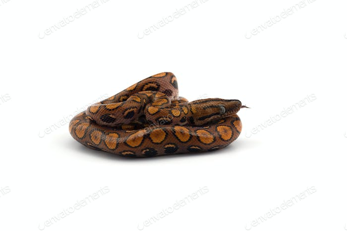 The rainbow boa isolated on white background