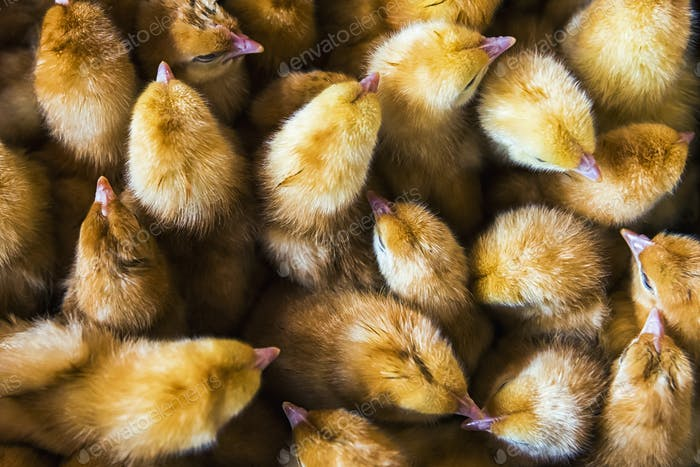 Una caja de polluelos de aves de corral