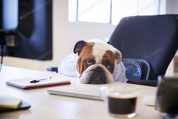 britische Bulldogge gekleidet als Geschäftsmann suchen traurig am Schreibtisch