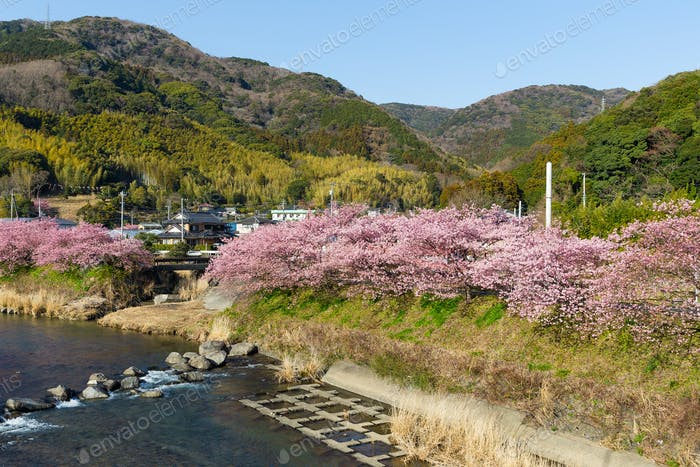 Sakura tree in kawazu