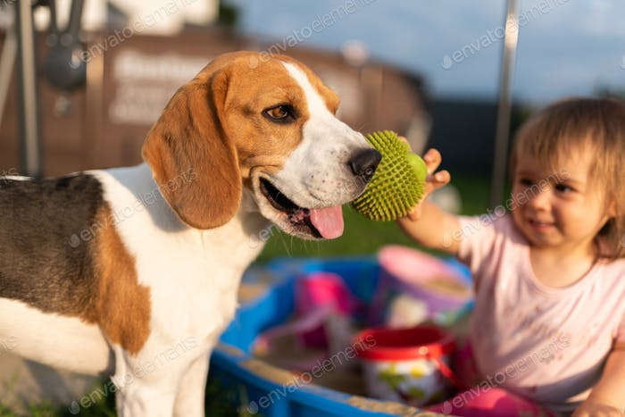 Beagle dog compannion with child outside. Baby girl playing in a sandboxin background