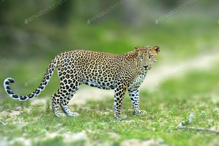 Caminar leopardo de Sri Lanka, Big manchada gato salvaje acostado en el na