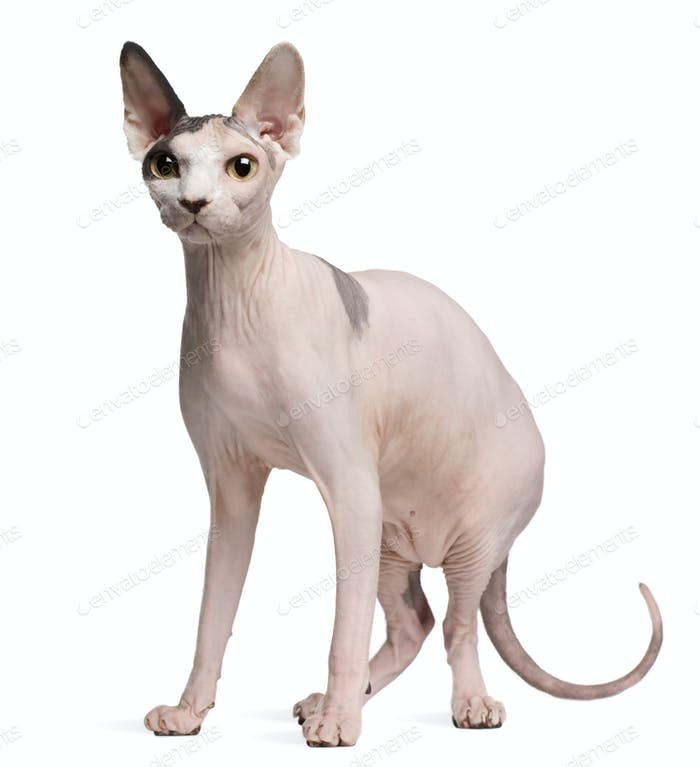 Sphynx cat, 13 months old, standing in front of white background