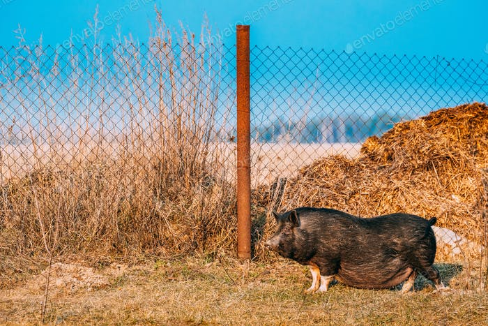 Household Black Pig Standing In Farm Yard. Pig Farming Is Raisin