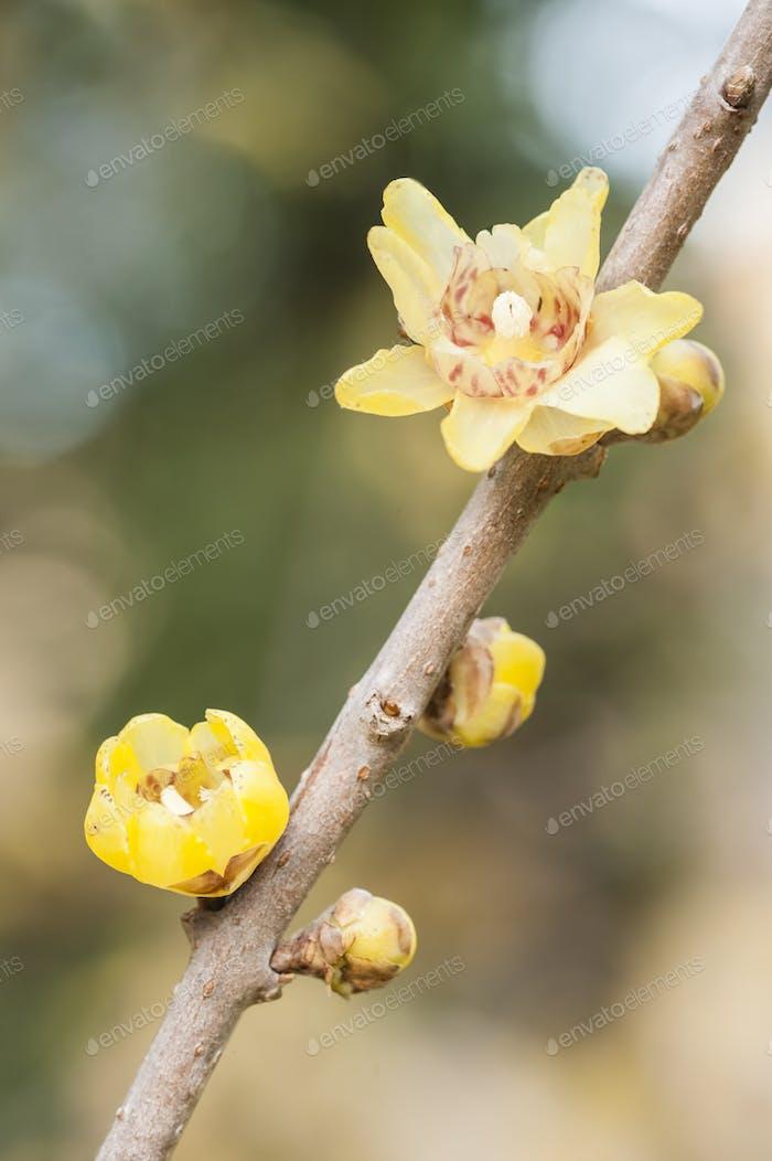 flowers of Chimonanthus, wintersweet,