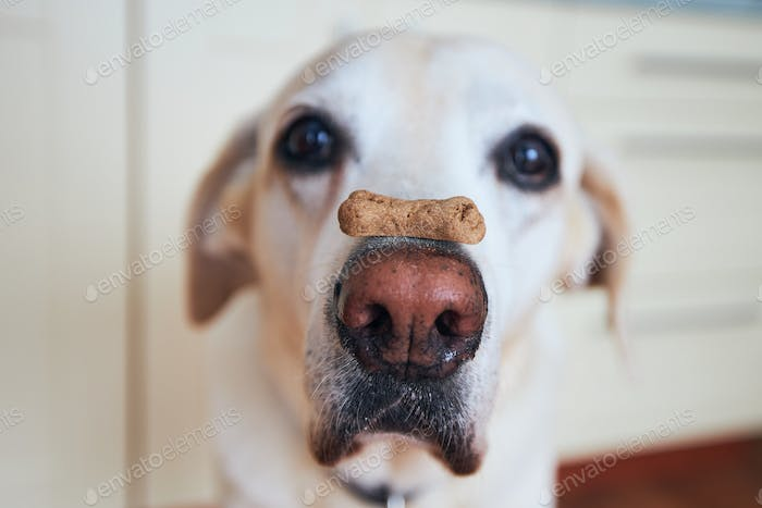 Funny dog with biscuit