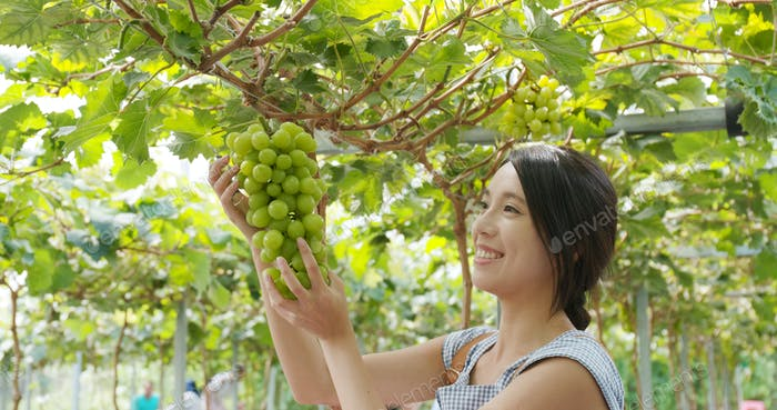 Woman looking at the green grape in the farm
