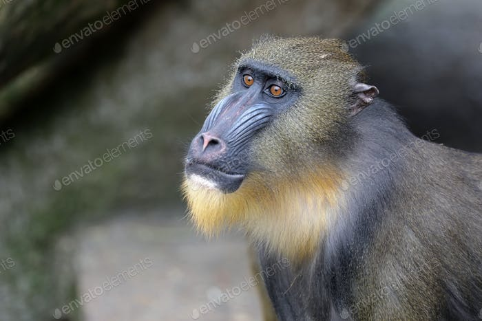 Young male mandrill