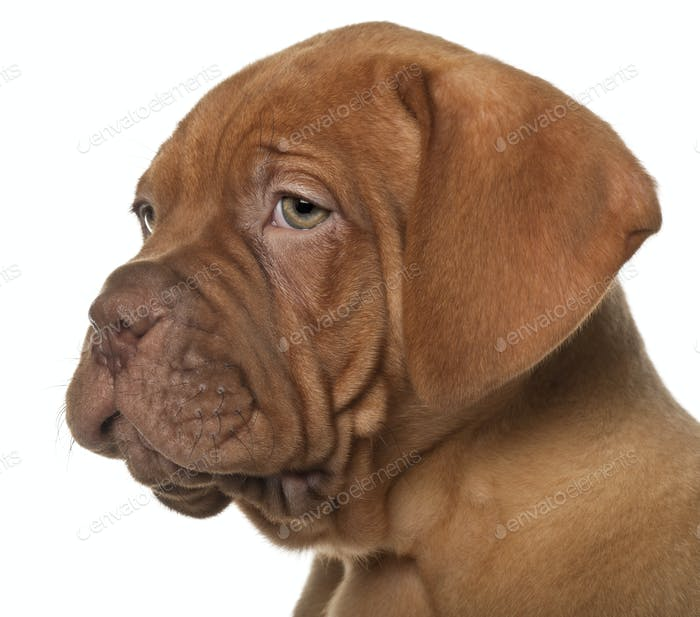 Dogue de Bordeaux puppy, 8 weeks old, in front of white background