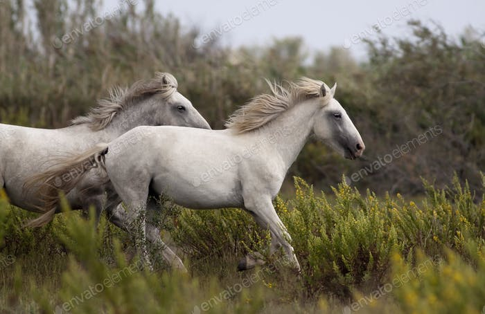 Beautiful white horses