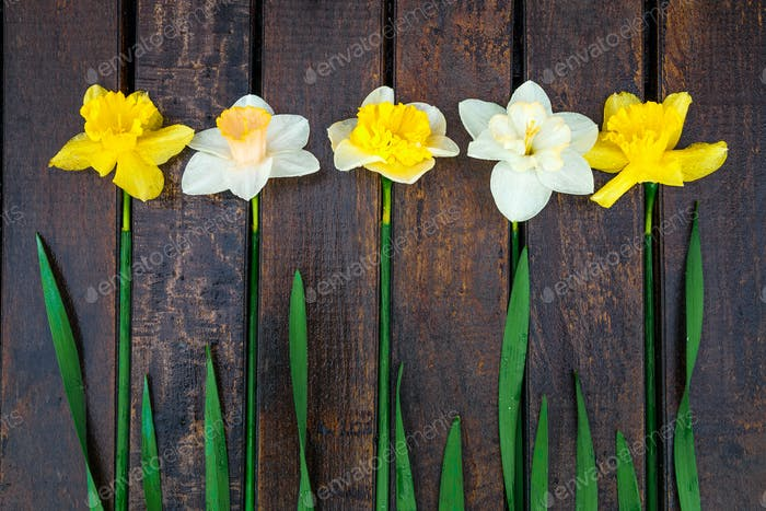 Daffodil on dark wooden background. Yellow and white narcissus. Greeting card. Top view.
