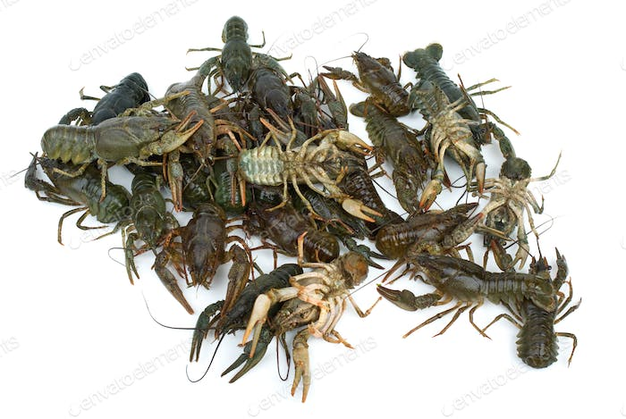 Pile of live crawfishes