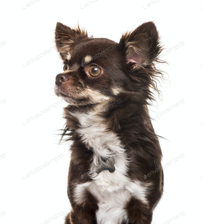 Chihuahua against white background
