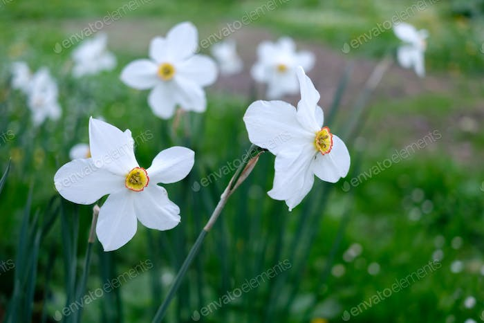 Narcissus flowers closeup