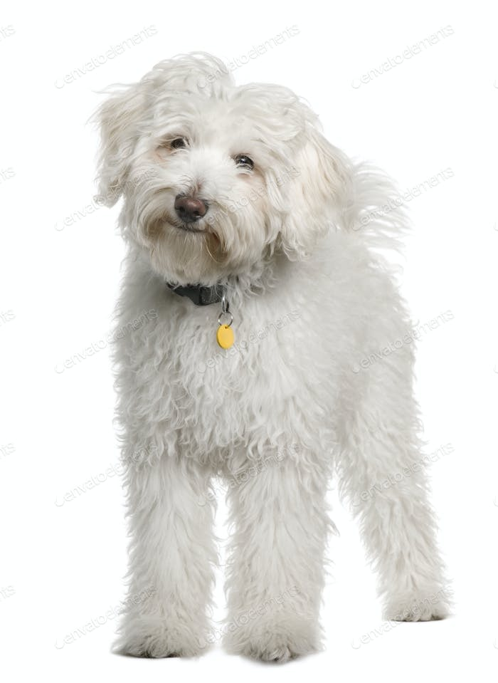 Maltese, 4 months old, standing in front of white background
