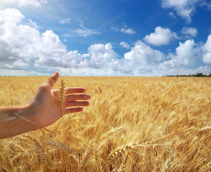Human hand ahd wheat