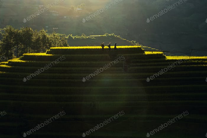 Three undefined Vietnamese Hmong with lens flare are walking in the rice field terrace