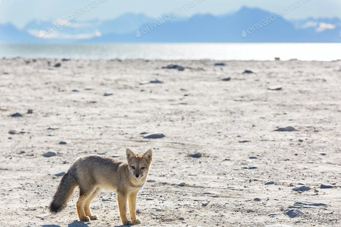 Fox in Patagonia