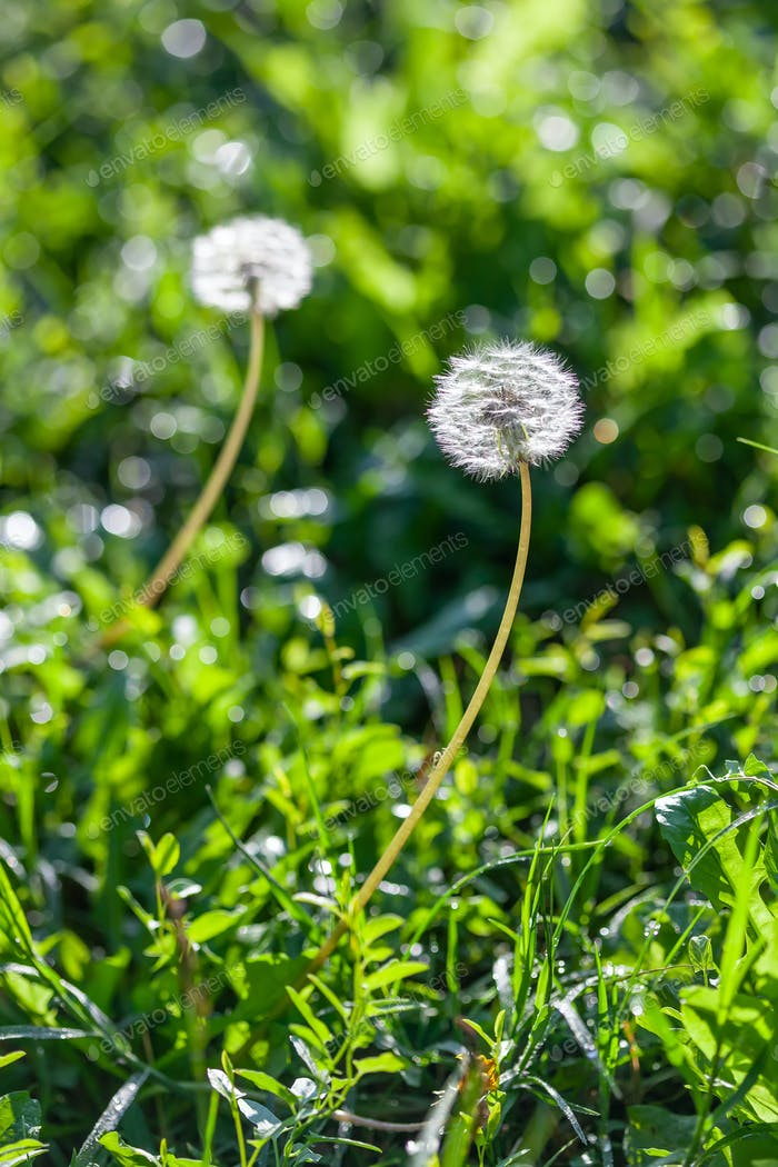 Fluffy dandelions flower with ripe seeds in a green grass field.