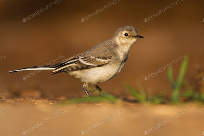 Juvenile white wagtail walking on sand of riverbank in summer at sunset