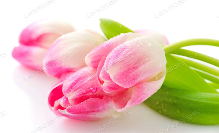 Spring flower pink tulips bouquet isolated on white background