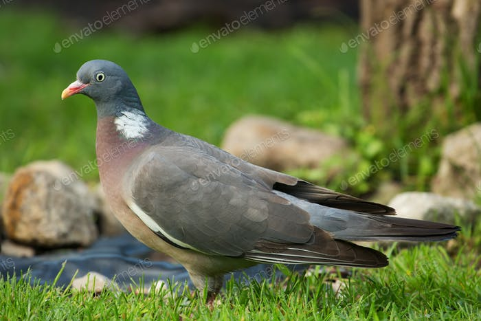 Close view on Wood pigeon (Columba palumbus) on green grass