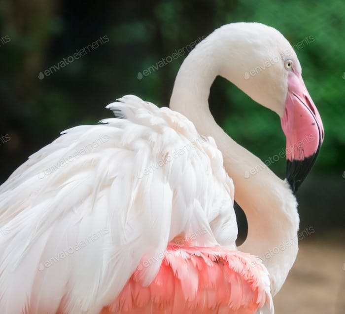 Flamingo's wing