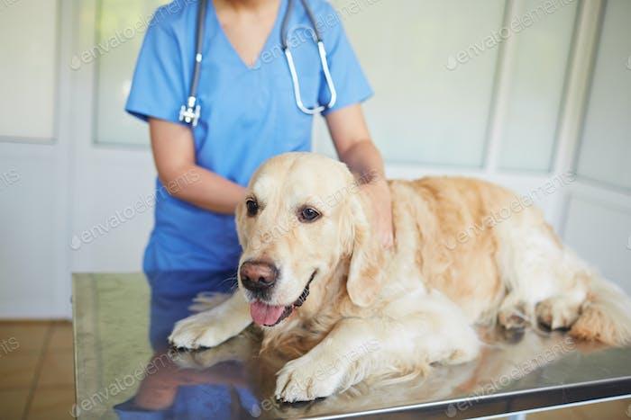 Examinar en la clínica veterinaria