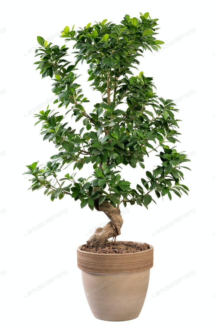 Potted Ficus ginseng plant in terracotta pot