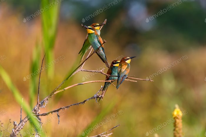Thumbnail for Several Kingfisher birds or Alcedo atthis perch on branch with insects in beaks