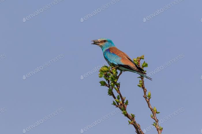 European Roller (Coracias garrulus) on a tree