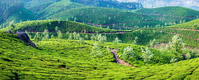 Panorama of green tea plantations on sunrise in Kerala, India