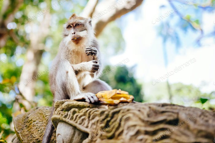 portrait of balinese monkey, asian primate sitting and eating
