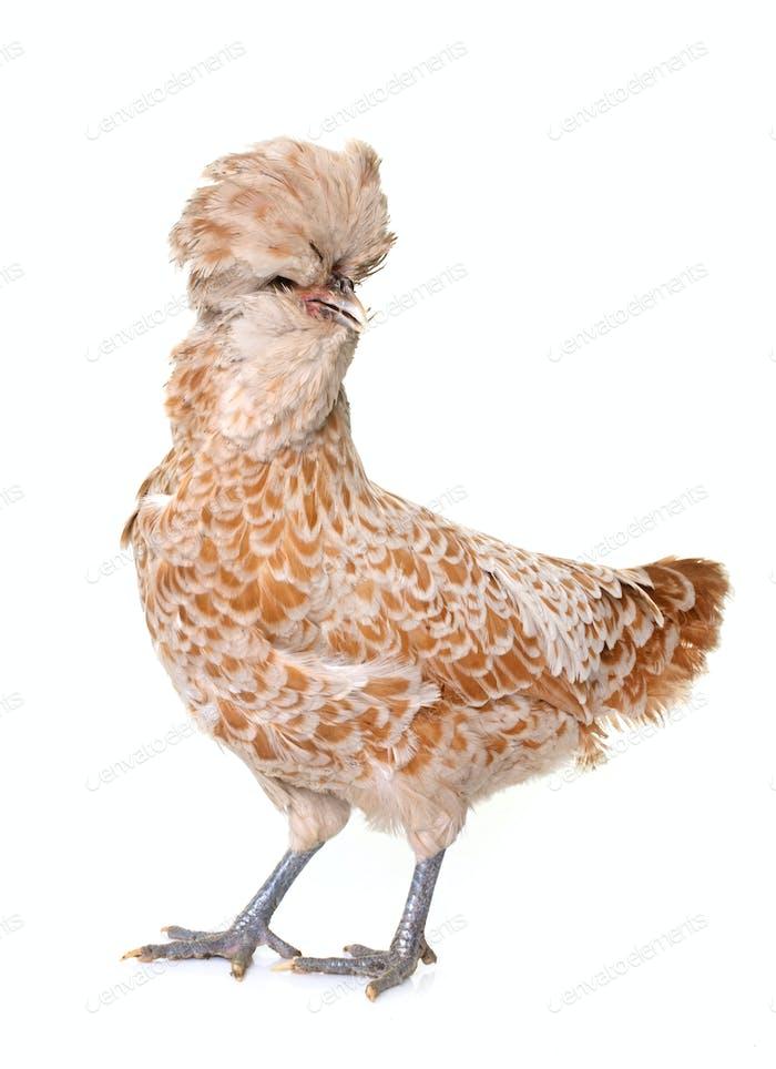 brown Padovana chicken