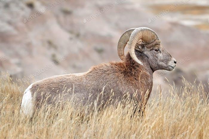 Bighorn Sheep with large curving horns in Badlands National Park