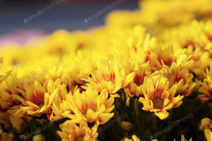 Die schöne der gelben Blumen