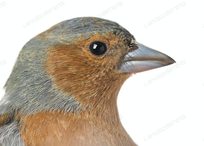 Close-up of Common Chaffinch - Fringilla coelebs - isolated on white