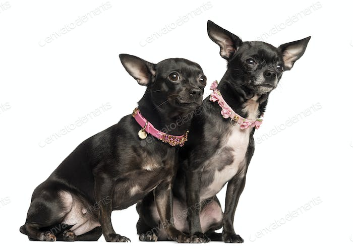 Two Chihuahuas sitting, wearing fancy collar, 3 years and 2 months old, isolated on white