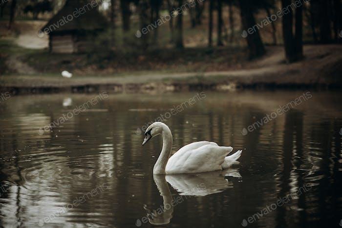 Beautiful white swan swimming in a pond at British wildlife park