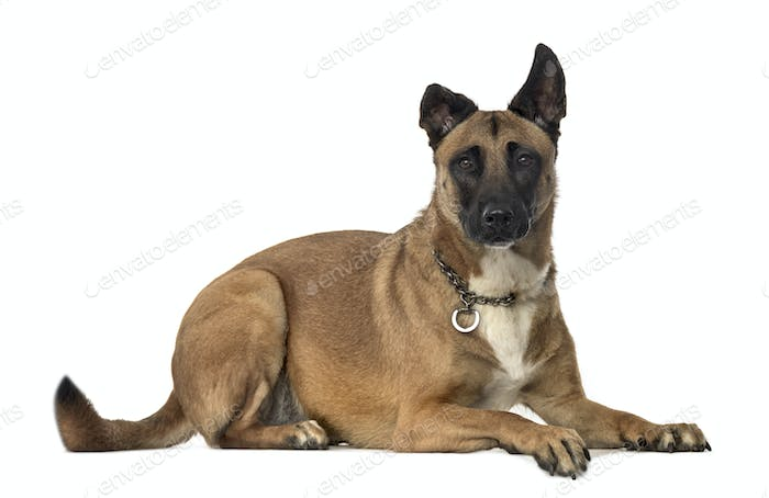 Mixed breed dog lying, cut out