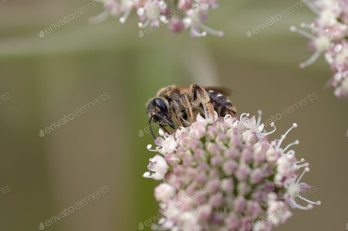 Pollination - bee on the bloom