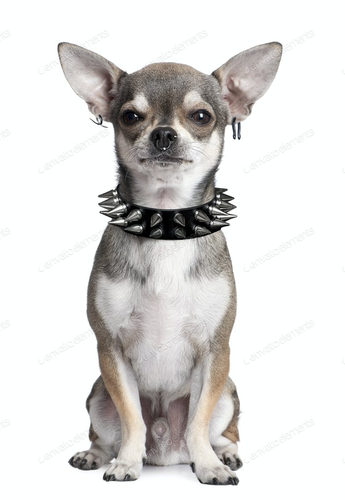 Portrait of Chihuahua with face piercings and spiked collar sitting in front of white background