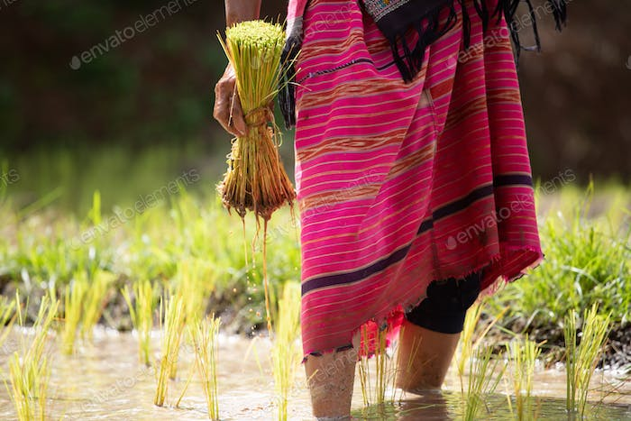 Farmers are planting rice in the farm, Thailand.