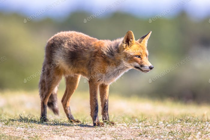 Red Fox in natural habitat
