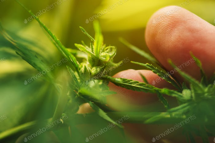 Farmer is examining cannabis hemp male plant flower development
