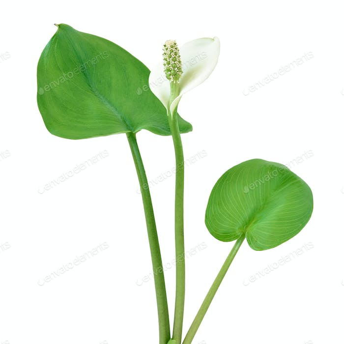 Calla palustris Pflanze
