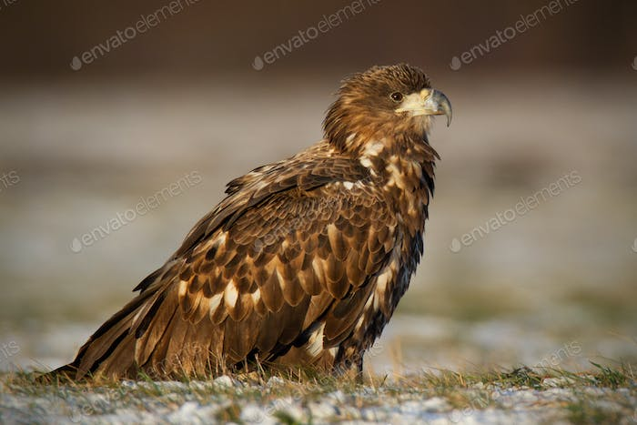 Juvenile white-tailed eagle, haliaeetus albicilla, in winter sitting on a snow