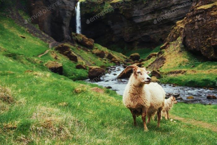 The Icelandic sheep